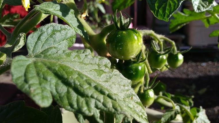 健康なトマトの生育状況