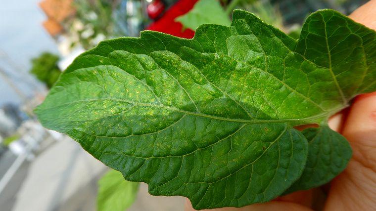 ミニトマトの葉の白い斑点