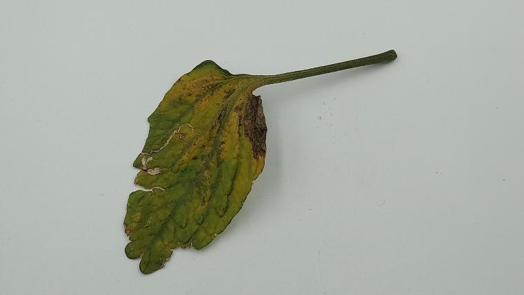 ミニトマトの黄色い葉の画像