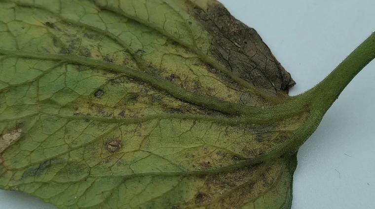 ミニトマトの葉裏の画像
