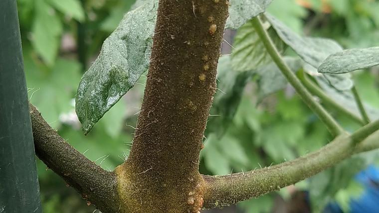 ミニトマトの茎が茶色い画像