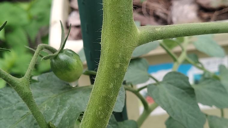 ミニトマトの元気な茎画像