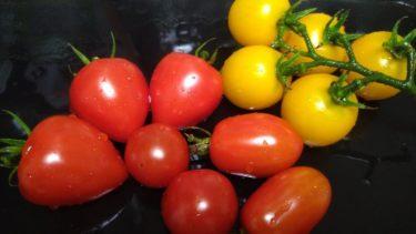 プランター栽培のミニトマト画像