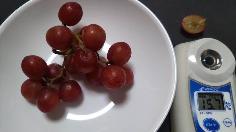 赤いブドウの糖度実測