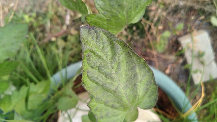 リン酸欠乏の紫の葉