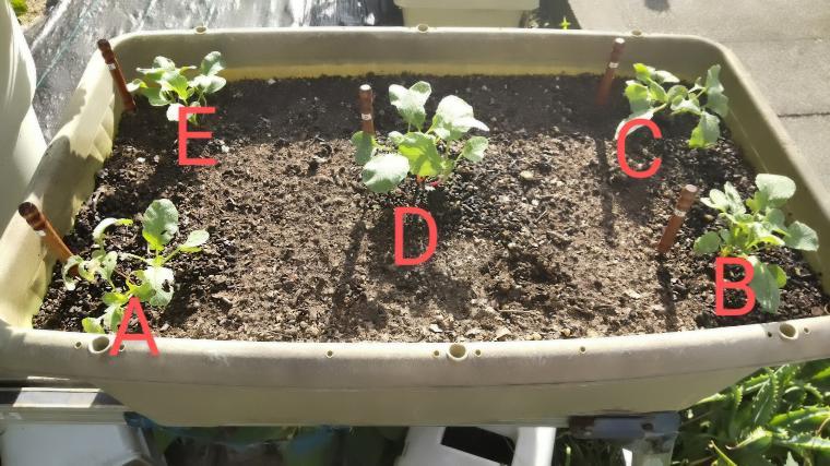 活力液の栽培実験ラデッシュ