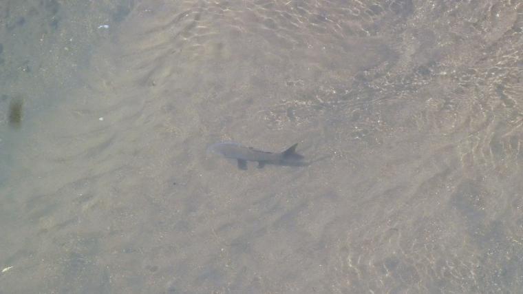 単発で泳ぐ鯉